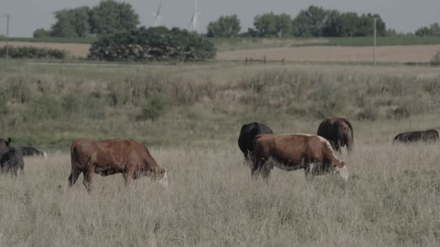 group of cows grazing on landscape - 数匹の動物点の映像素材/bロール