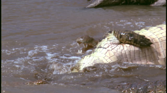 MS, group of crocodiles feeding on Wildebeest carcass in muddy river, Serengeti National Park, Tanzania