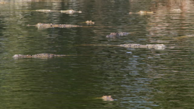 ms group of crocodiles swimming in water / northern territory, australia - wiese stock videos & royalty-free footage
