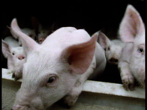 group of curious piglets lean out of pen to sniff camera with their snouts - pen stock videos & royalty-free footage