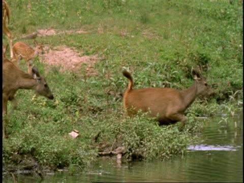 ms group of deer walking into water, bathing, western ghats, india - mellanstor djurflock bildbanksvideor och videomaterial från bakom kulisserna