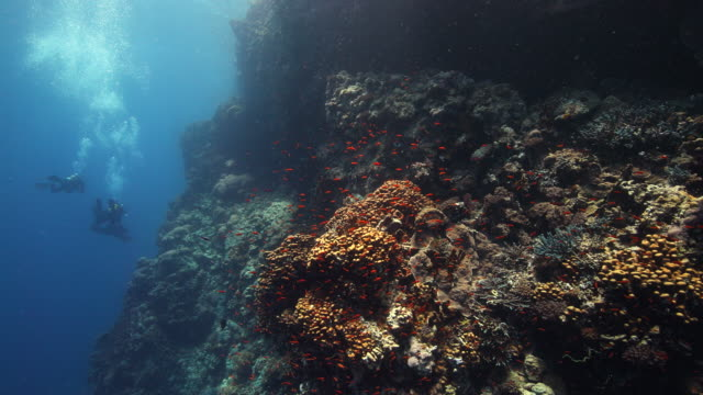A group of divers drift along a coral reef wall covered with anthias fish