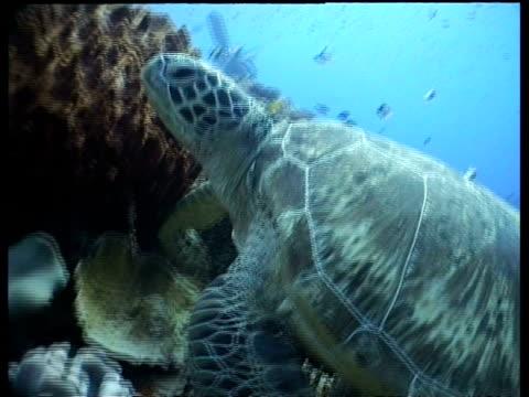 vídeos y material grabado en eventos de stock de ms group of divers watching green turtle resting on coral reef, cu turtle swims away, layang layang, malaysia - patrones de colores