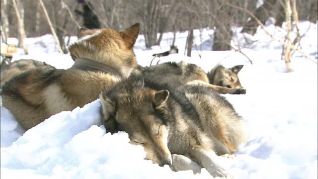 group of dogs fast asleep - medium group of animals点の映像素材/bロール