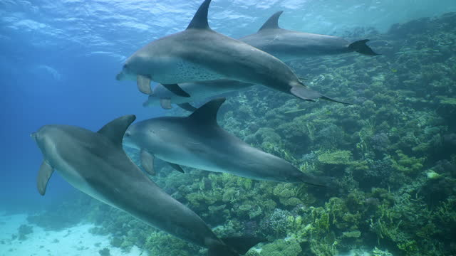 group of dolphins passing in front of red sea reef wall - バンドウイルカ点の映像素材/bロール