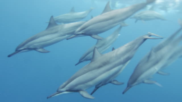 Group of dolphins swimming in the ocean
