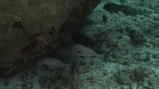 group of dotted sweetlips at sea reef, ogasawara island - sweetlips stock videos & royalty-free footage
