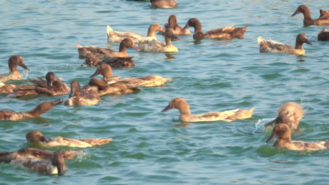 group of duck playing in water - purity stock videos & royalty-free footage