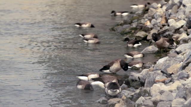 a group of ducks groom themselves alongside a rocky shore - medium group of animals点の映像素材/bロール