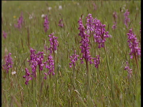 group of early purple orchids in grassy field swaying in gentle breeze - orchid stock videos & royalty-free footage