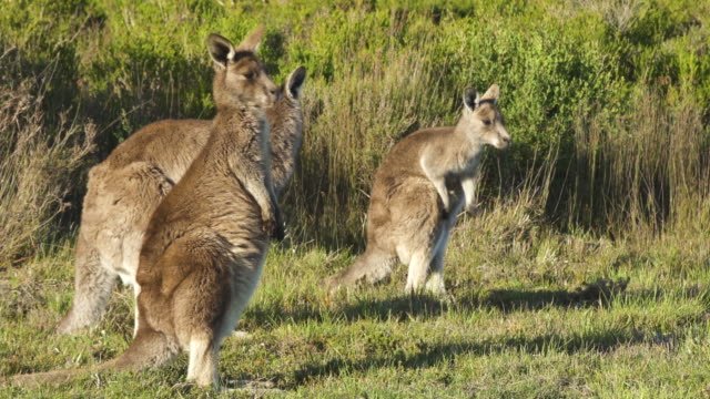 group of eastern grey kangaroos (macropus giganteus) - small group of animals stock videos & royalty-free footage