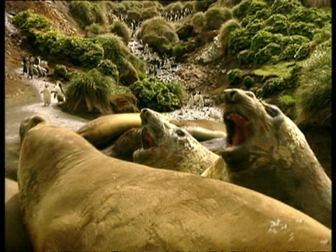 cu group of elephant seals lying on ground, antarctica - südlicher seeelefant stock-videos und b-roll-filmmaterial