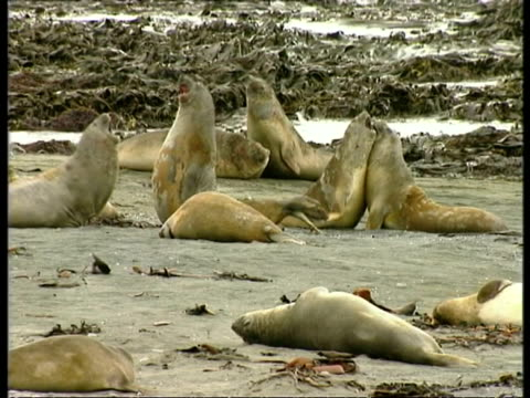ms group of elephant seals on shore, antarctica - südlicher seeelefant stock-videos und b-roll-filmmaterial