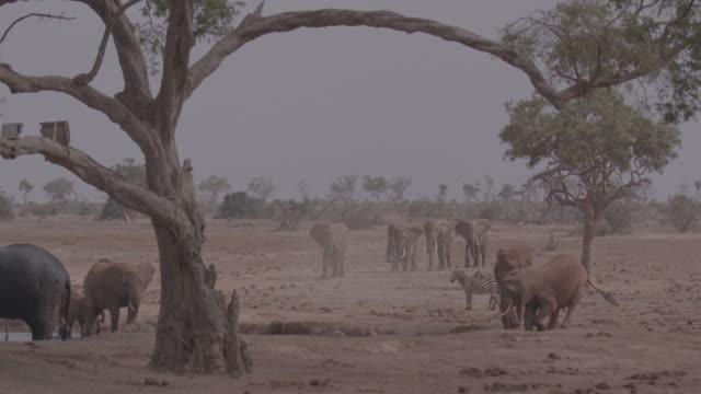 vidéos et rushes de group of elephants and zebreas / africa - plaque de montage fixe