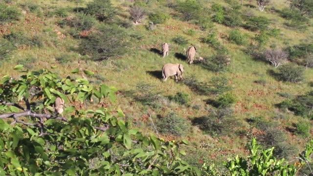 ms group of elephants eating vegetation in field / darmaland, kunene, namibia - wiese video stock e b–roll