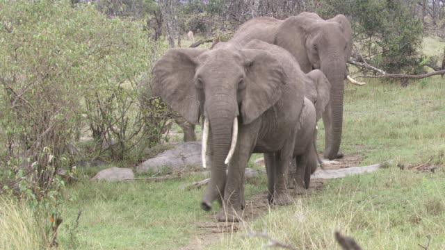 ms zi group of elephants walking and eating / tanzania - gruppo medio di animali video stock e b–roll