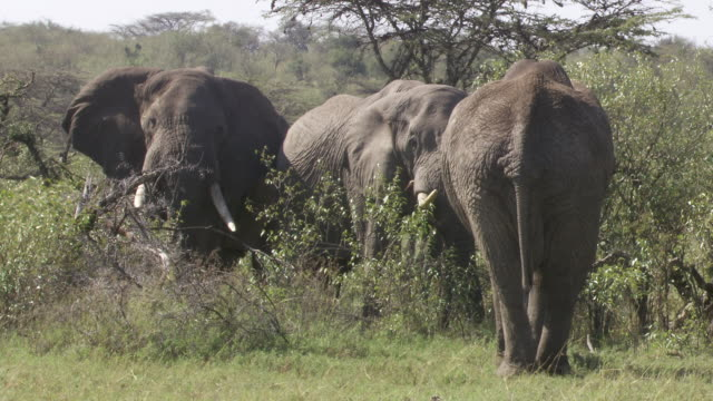 stockvideo's en b-roll-footage met ws zi pan group of elephants  walking / tanzania - kleine groep dieren