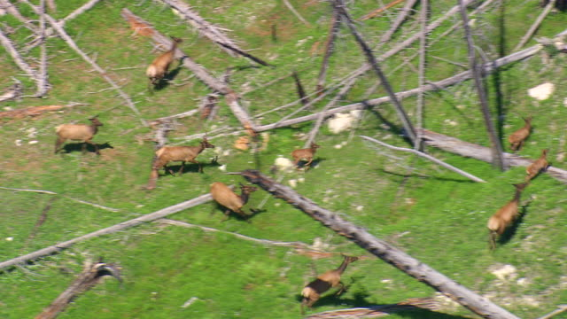 cu aerial group of elk(deer) at cutted trees / montana, united states - rothirsch stock-videos und b-roll-filmmaterial