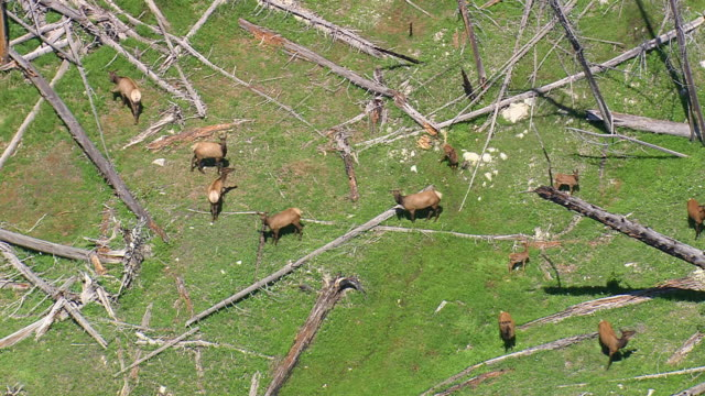 CU AERIAL Group of Elk(Deer) at cutted trees / Wyoming, United States
