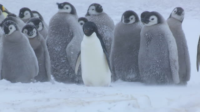 group of emperor penguin chicks in blizzard pan right to adult adelie penguin which is smaller than the chicks - young bird stock videos & royalty-free footage