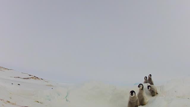 vídeos de stock e filmes b-roll de ws la group of emperor penguin chicks in snow walking up to camera / dumont d'urville station, adelie land, antarctica - vida de bebé