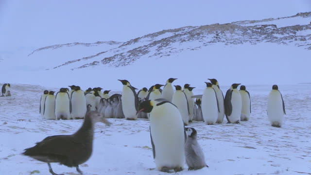 MS group of Emperor penguins and chicks as Giant petrel pulls chick across foreground but adult penguin rescues the chick and confronts the petrel