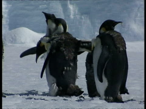 vidéos et rushes de ms group of emperor penguins, aptenodytes forsteri, shaking and grooming themselves, antarctica - se lisser les plumes