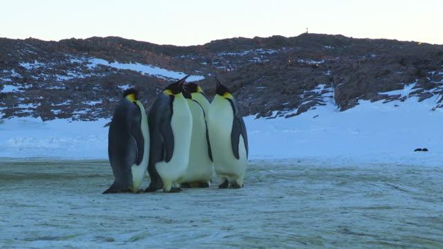 vídeos de stock e filmes b-roll de ws group of emperor penguins in open space on icy ground / dumont d'urville station, adelie land, antarctica - grupo médio de animais