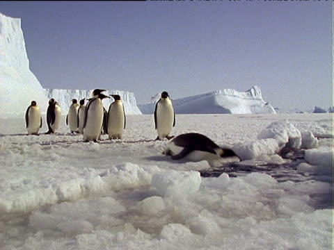 group of emperor penguins line up on snow covered landscape and toboggan into sea covered in floating and broken ice, antarctica - emperor stock videos and b-roll footage