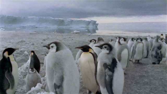 MS, TU, Group of Emperor penguins on snow, Antarctica