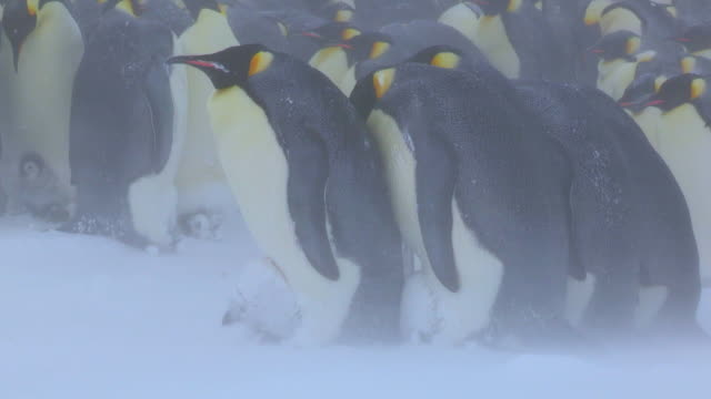 ms group of emperor penguins protecting chicks in fierce blizzard / dumont d'urville station, adelie land, antarctica - 雛鳥点の映像素材/bロール