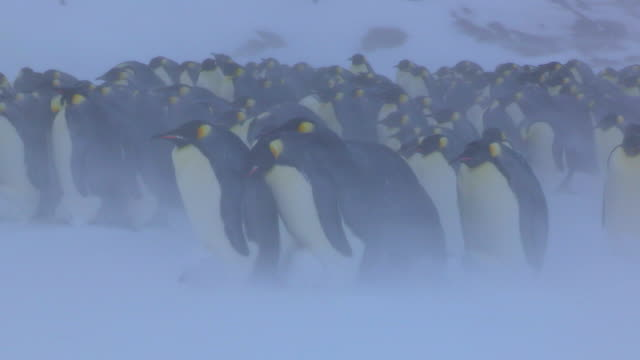 ws group of emperor penguins protecting chicks in fierce blizzard / dumont d'urville station, adelie land, antarctica - 雛鳥点の映像素材/bロール