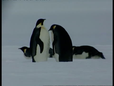 ms group of emperor penguins, some standing on ice while others slide across ice on bellies, antarctica - animal abdomen stock videos and b-roll footage