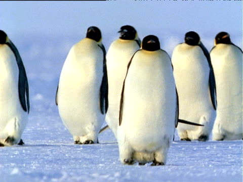 group of emperor penguins waddling over ice-sheet towards camera, one penguin toboggans on its belly in background, antarctica - ice sheet stock videos and b-roll footage