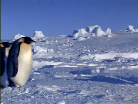 profile group of emperor penguins walking in line on ice - medium group of animals stock videos & royalty-free footage