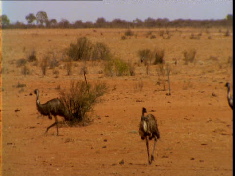 group of emus wander through outback, south australia - emu stock videos & royalty-free footage