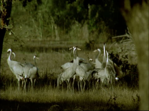 group of european cranes (grus grus) foraging, some display, north-east extremadura in dehesa, spain - foraging stock videos and b-roll footage