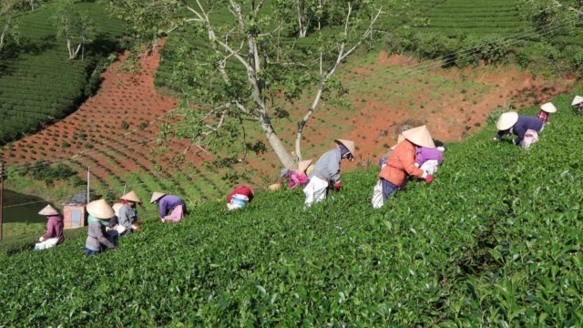 group of farmers picking tea - tea crop stock videos & royalty-free footage