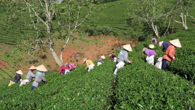 vídeos y material grabado en eventos de stock de group of farmers picking tea - té cultivo