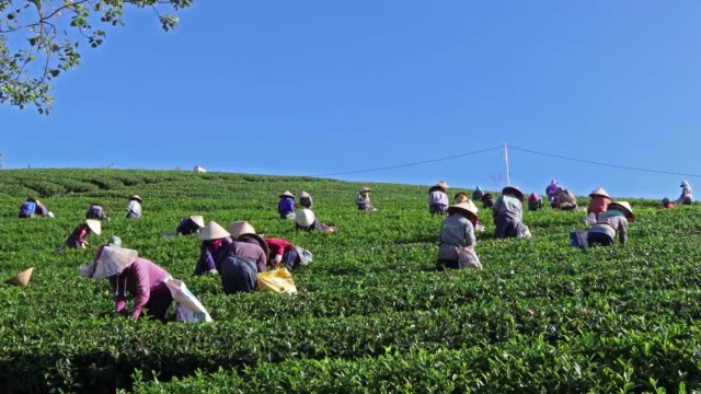 vídeos de stock, filmes e b-roll de group of farmers picking tea - formato bruto