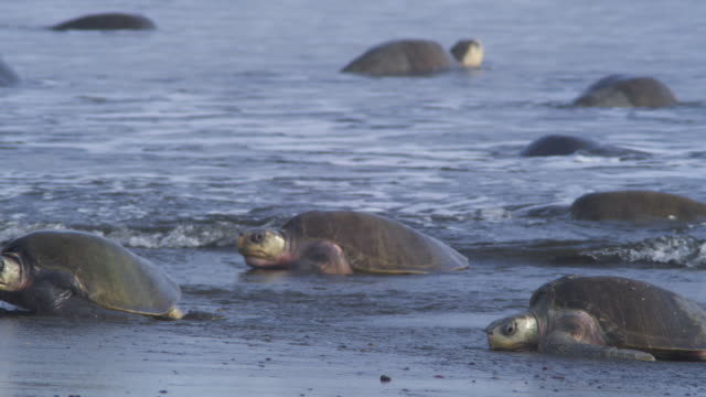 Group of female Olive Ridley turtles crawling in surf