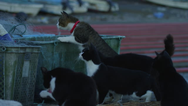 group of feral domestic cats climb on fish boxes then jump as fish is thrown to them - gruppo medio di animali video stock e b–roll