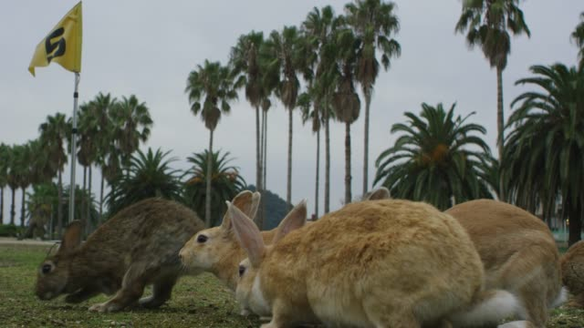 Group of feral domestic rabbits eat on golf course