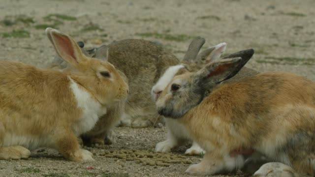 CU group of feral domestic rabbits eat pellets on beach