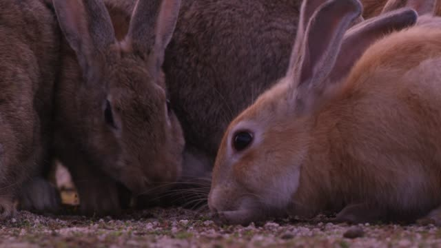 CU group of feral domestic rabbits eating on rough grass