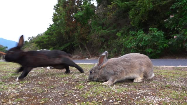 slomo group of feral domestic rabbits forage on rough grass - 50 seconds or greater stock videos & royalty-free footage