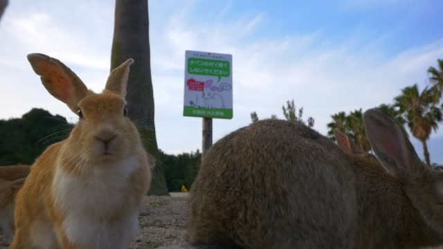 stockvideo's en b-roll-footage met slomo la group of feral domestic rabbits foraging with japanese sign in background - foerageren