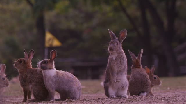 LA group of feral domestic rabbits on golf course looking around and standing up