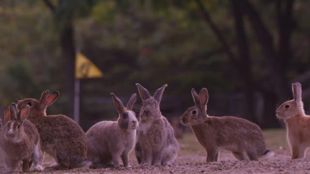 la group of feral domestic rabbits on golf course looking around - bandierina da golf video stock e b–roll