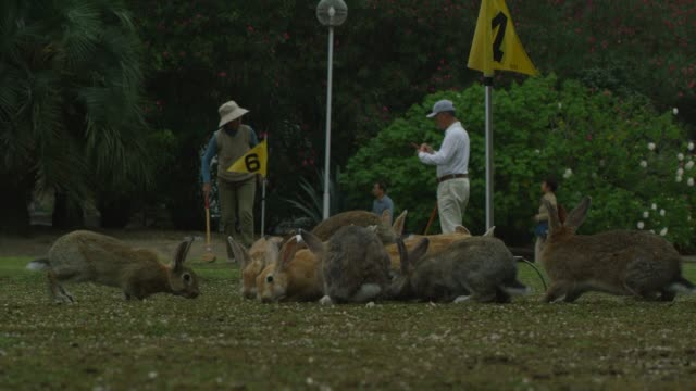 Group of feral domestic rabbits on golf course with people playing in background